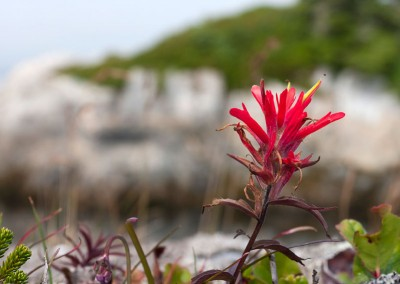 Coastal Indian Paintbrush