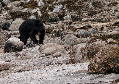 Black bear looking for some dinner.