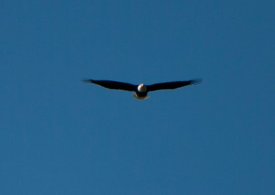 Bald eagles are a common sight in the Broughton.