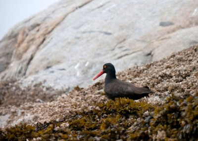 Oyster Catchers are common in the Broughton.