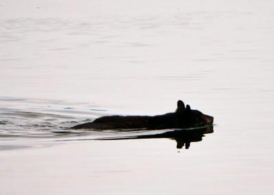 Bear swimming in the ocean near Little Simoom Sound.