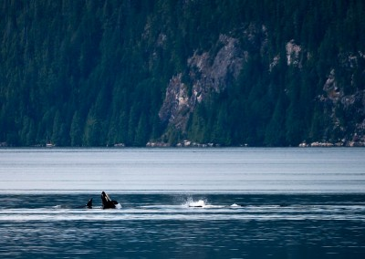 Killer whales near Echo Bay.