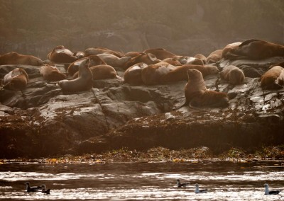 Sea lion rookery on the shore at Hanson Island.