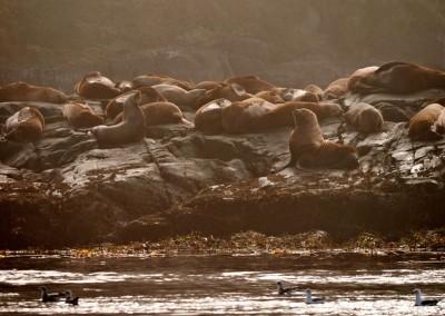 Sea lion rookery on the shore at Hanson Island.