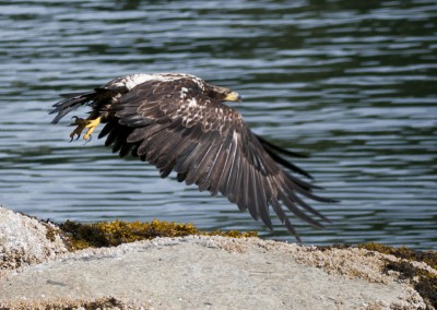 A young eagle takes off, intent on it's targeted prey.