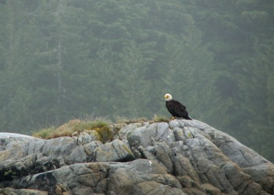 A bald eagle stands vigilantly on an islet.