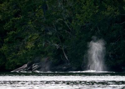 Orcas in Cramer Passage near Baker Island.